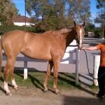 Annie. 9 yr OTTB mare.
